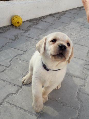 Labrador Retriever Amarelo com Lop Macho