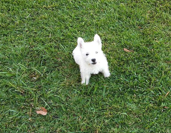 West Highland White Terrier LOP e AFIXO