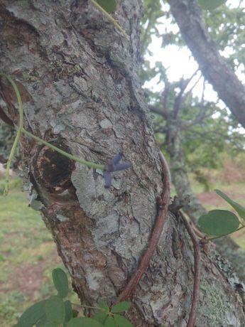 Trepadeira akevia quinata