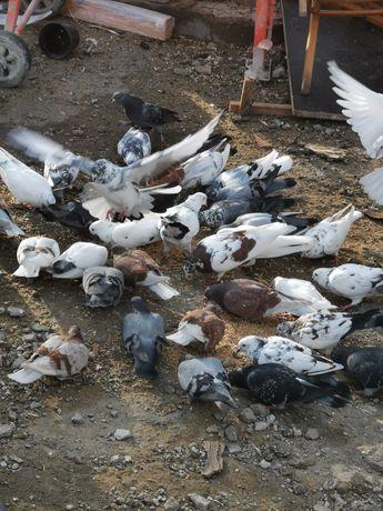Продам голубей домашних