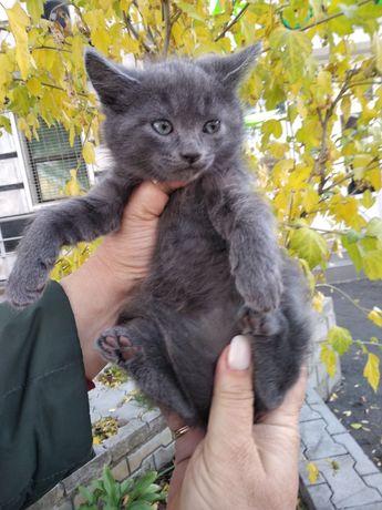 Продам котят породы русский голубой