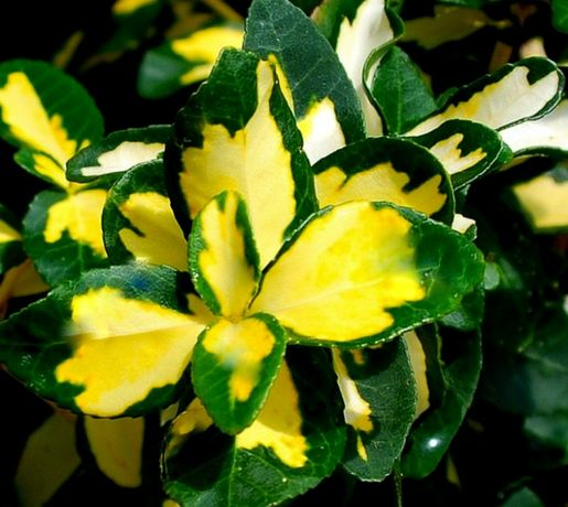 Trzmielina Fortune'a Sunspot zimozielona skarpa