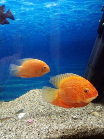 Супер цена за всех Рыбки большие два Северума и Псевдотрофеус