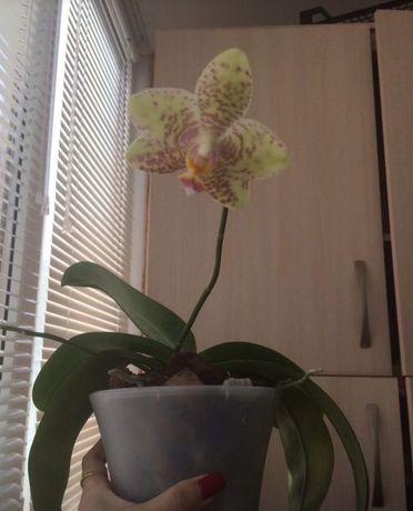 Орхидея (детка) фал.