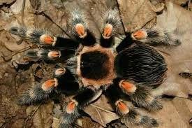 Паук Brachypelma smithi L 6-7 самка