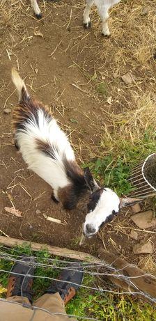Casal cabras anãs