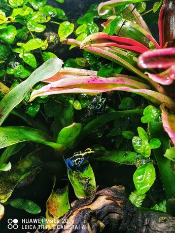 Dendrobates tinctorius Drzewołaz żaba