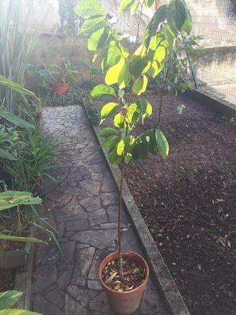 Plantas de Anoneira
