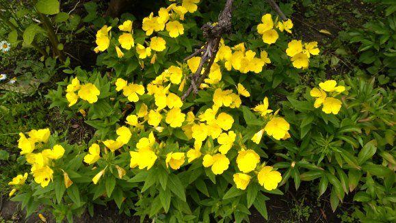 Саженцы енотеры садовой,многолетней
