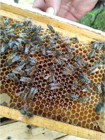 Плідні 5+5=11 (Звони! ) Карніка Troizek, Sklenar Бджоломатки.
