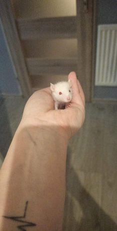 Młode Szczurki! !