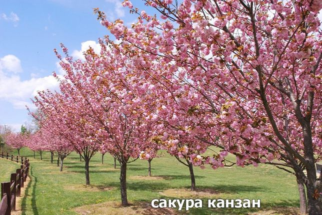 Саженцы сакуры,плакучей березы, катальпы Нана, плакучей яблони, церсис