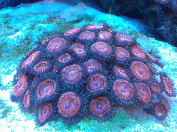 Zoa koralowiec morski