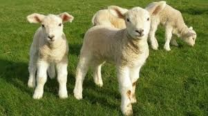 super mleko dla jagniąt koźląt owce kozy barany lamy daniele alpaki