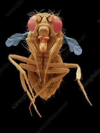 Muszki nieloty Melanogaster świetna karmówka, duży wylęg