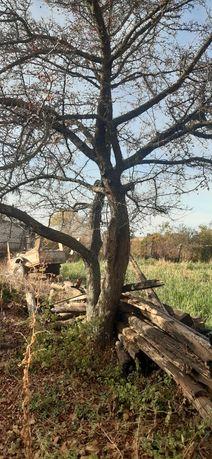 Дерево Боярешника,глоду брус древесина