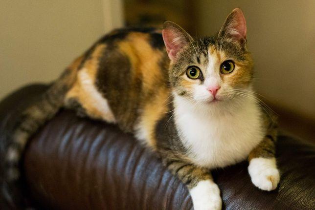 Кошка котенок кот в добрые руки табби полосатая трехцветная