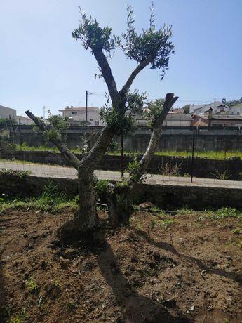 Escolha a sua Oliveira! / Plantas / Árvores / Jardim