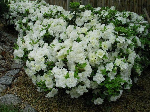 Azalia japońska Rhododendron japonicum różne odmiany multiplat