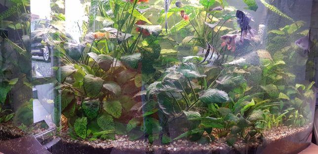 Rośliny akwariowe Anubias kryptokoryna