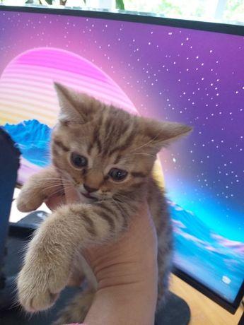 Золоті кошенятка