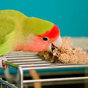Espigas de Milho Painço P/ Aves