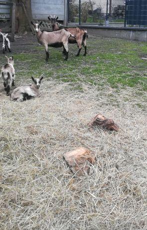 Sprzedam 2 kozy ze młodymi