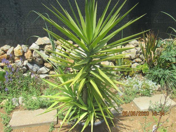 Yuca planta de interior ou exterior