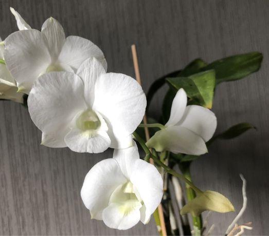 Дендробіум фаленопсис, дендробиум фаленопсис дендрофаленопсис орхидея