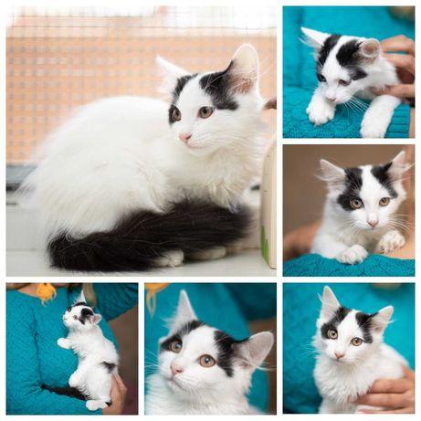 Аврора, белая с пятнышками, пушистенькая кошечка, 4 мес, котенок кошка