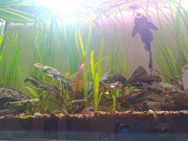Akwarium robione na zamówienie 96x50x21 z osprzętem i rybami - POLECAM
