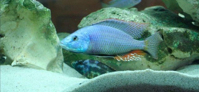Pyszczaki dimidiochromis strigatus