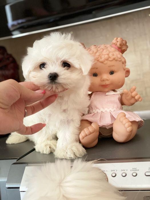 Мини кукольная девочка мальтипу Киев - изображение 1