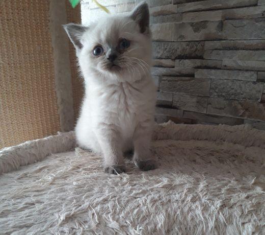 Brytyjska kotka niebieski point