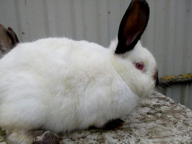 Продам молоді кролі