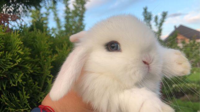 Декоративний кролик Міні Лоп