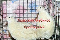 инкубационные яйца техаского перепела
