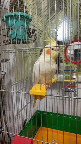 Продам попугая (корела) с клеткой