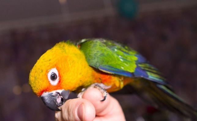 Аратинга, сенегальски- ручные птенцы выкормы
