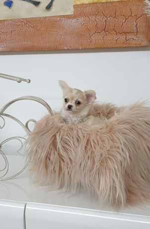 Chihuahua  macho de pêlo comprido pronto para entrega imediata