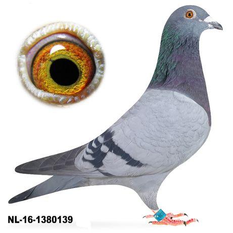 Młode 2021 Para nr 7, 100 % Vandenabeele, Pouw gołąb gołębie pocztowe