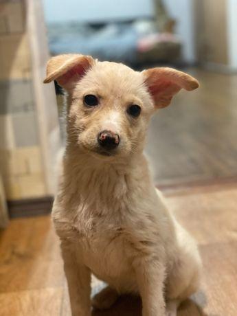 СРОЧНО в любящую семью красавица щеночек Мира (3 месяца)