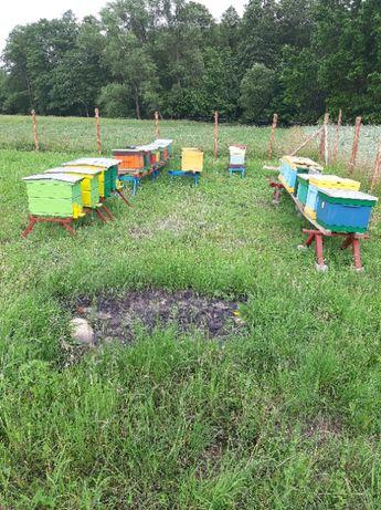 Pszczoły ule roje rodziny pszczele