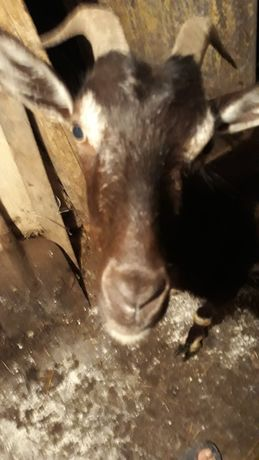 Коза дойная, три окота