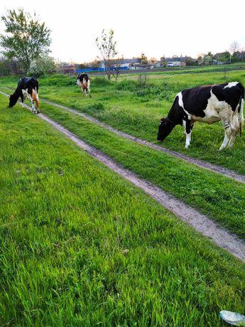 Продам корову молочну на вибір