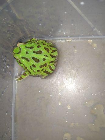 Żaba rogata zielona lub albino