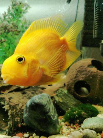 Ryby akwariowe - papuzia