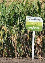 Семена кукурузы Сингента СИ Феномен (ФАО 220)