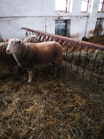 Baran, tryk, owce, jagnięta