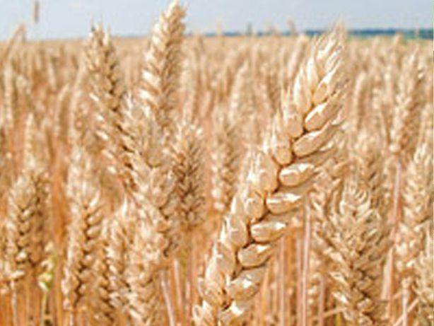 Продам   пшеницю